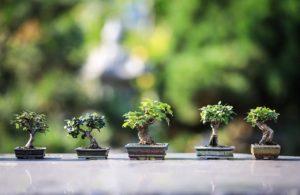 בונסאי, בונסאי ברכיכיטון, בונסאי עץ האהבה.